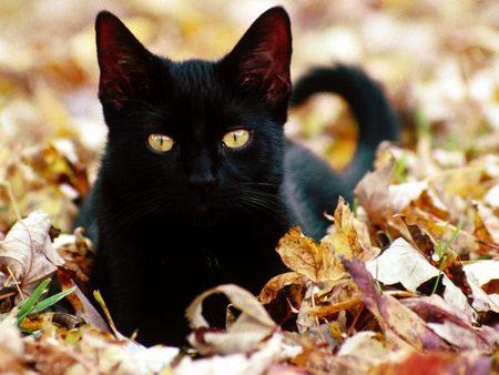 Black-Cat-black-cats-29172566-450-338