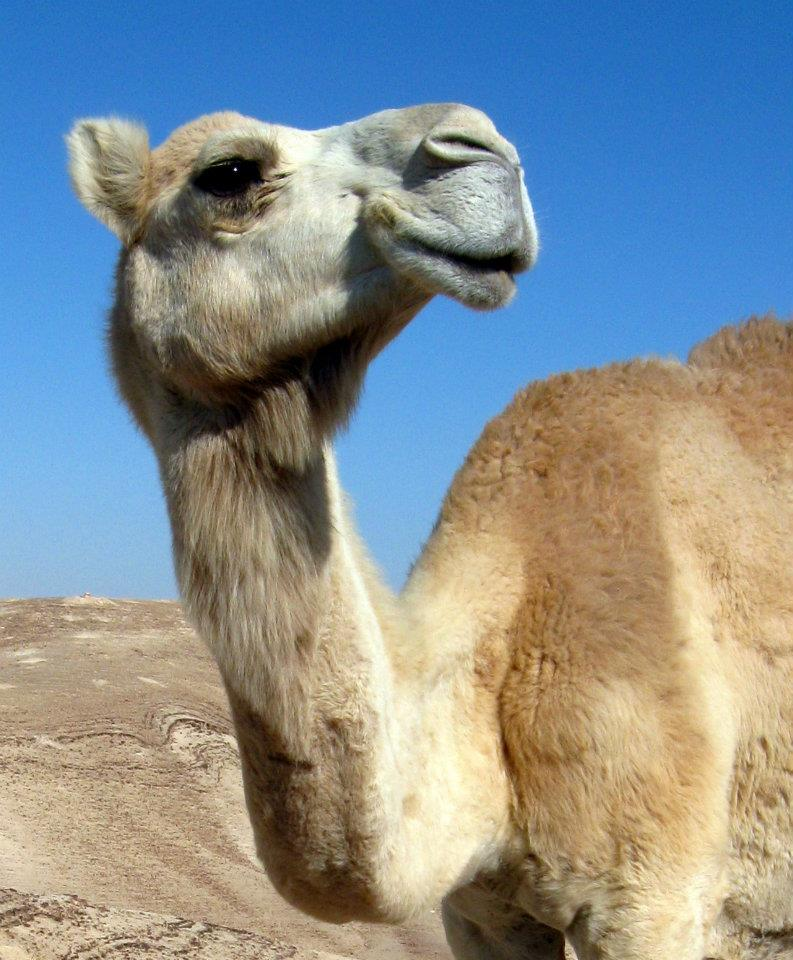 Pet of The Day: The Camel of Sea Level