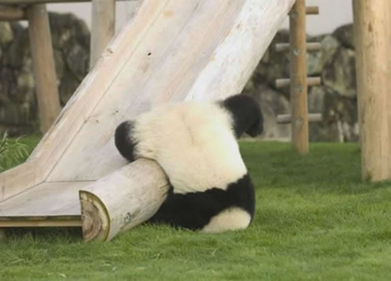 Accident of The Day: Panda Slide Collision