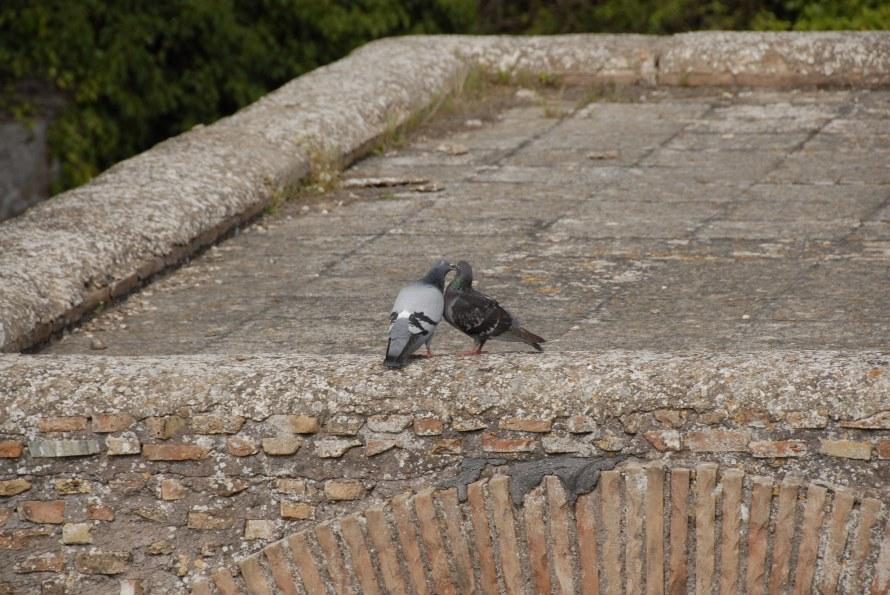 Ostia Antica Stanito  Pigeons