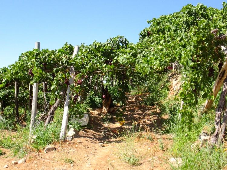 Chañaral Alto grapes and Burka Stanito