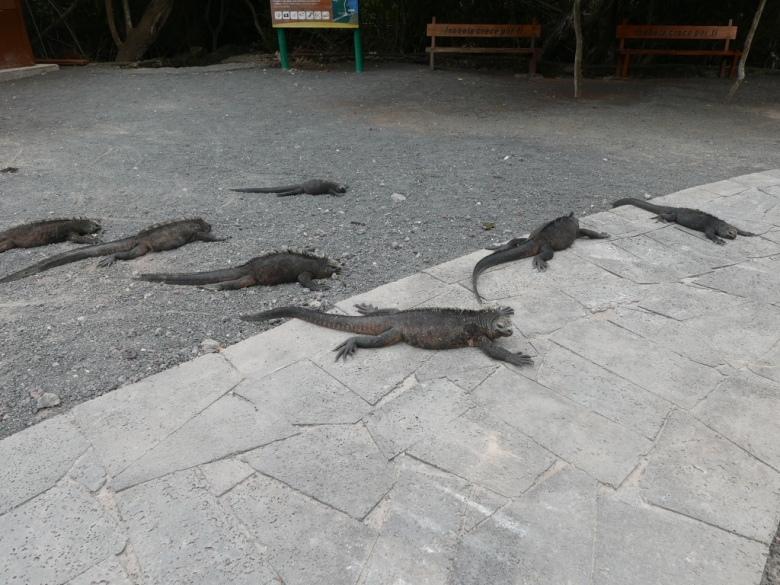 Stanito_galapagos_iguanas