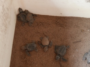 Turtle_Center_San_blas_Mexico_Stanito_3