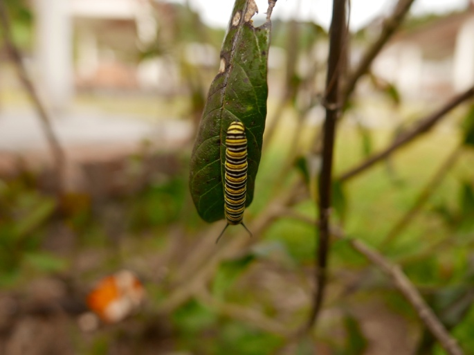 Monarch_butterfly_larvae_stanito