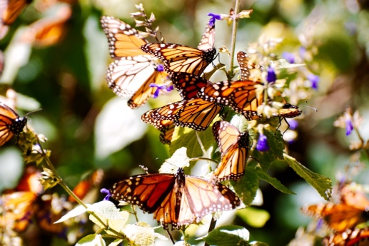 Monarch_butterfly_stanito_close_up1