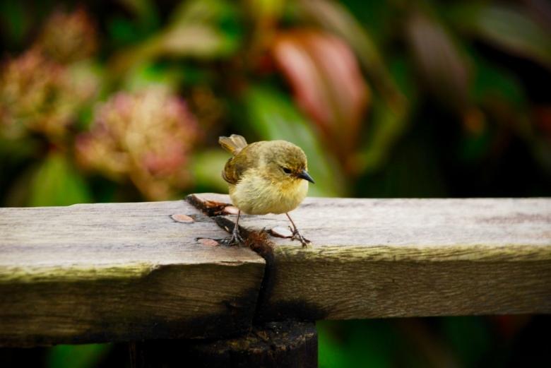 cute_yellow_bird_galapagos_stanito_1024