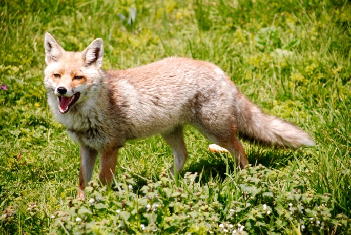 friendly_fox_marche_italy_stanito_1024