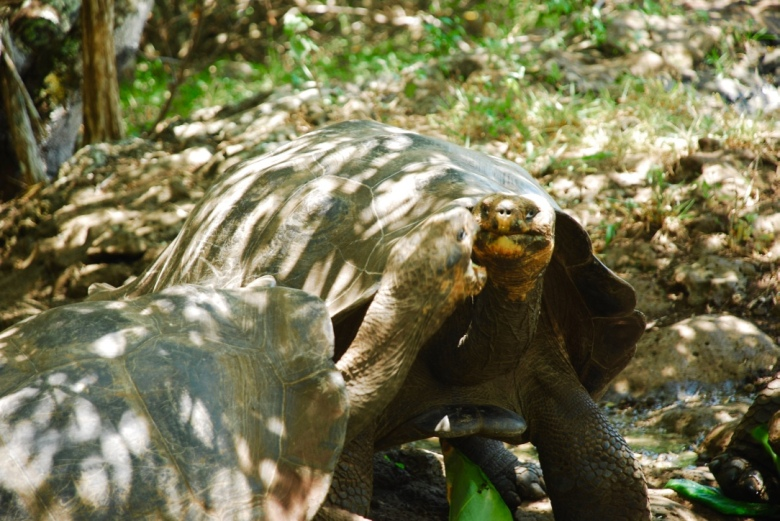 giant_tortoises_lunch_galapagos_stanito_1024