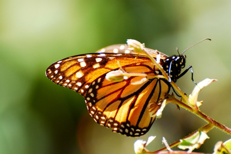 monarch_butterfly_mexico_stanito_1024