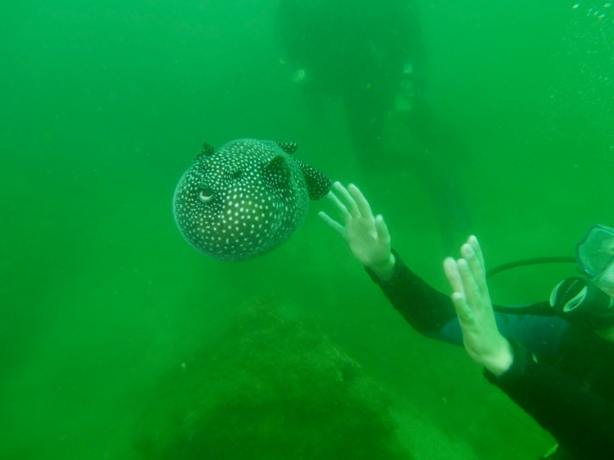 guineafowl_puffer_fish_stanito_mexico