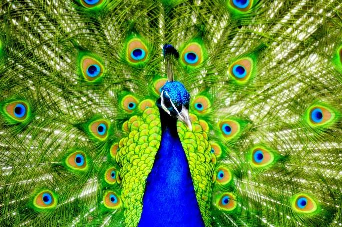 peacock8