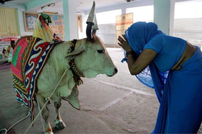 worship_cow_india